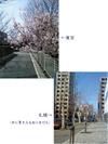 070429sakura_3